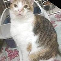 Calico Cat for adoption in Miami, Florida - Clementine