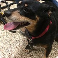 Adopt A Pet :: Bones - Fremont, OH