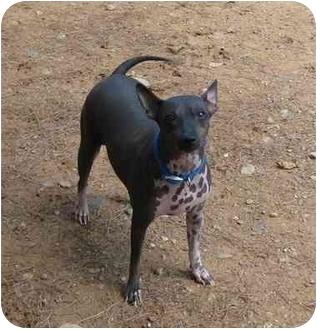 American Hairless Terrier Dog for adoption in Phoenix, Arizona - Jessica