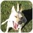 Photo 1 - Chihuahua/Shiba Inu Mix Dog for adoption in Marysville, California - Twinkie