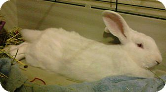 Mini Lop Mix for adoption in Williston, Florida - Ernie Babes