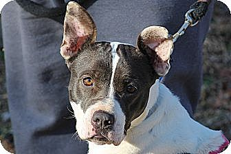 Pit Bull Terrier/Boxer Mix Dog for adoption in Marion, North Carolina - Burma