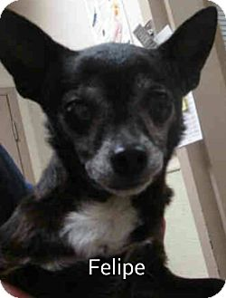 Chihuahua Mix Dog for adoption in Encinitas (San Diego), California - Felipe