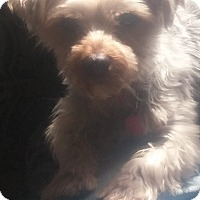 Adopt A Pet :: LUCY - New Windsor, NY