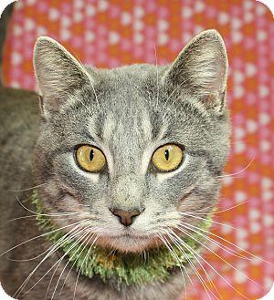 Domestic Shorthair Cat for adoption in Jackson, Michigan - Greybo
