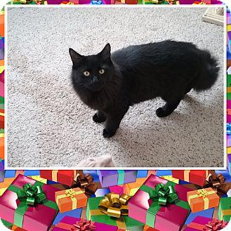 Domestic Longhair Kitten for adoption in Cedar Springs, Michigan - Mowgli