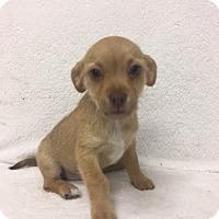 Adopt A Pet :: Addie - Mission Viejo, CA