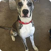Adopt A Pet :: Theo - Rochester Hills, MI
