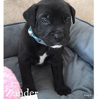 Mixed Breed (Medium)/American Pit Bull Terrier Mix Puppy for adoption in Summerville, South Carolina - Zander
