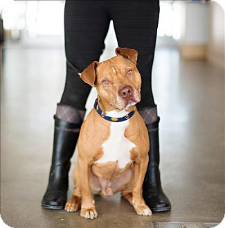 Pit Bull Terrier Mix Dog for adoption in Hyde Park, New York - Broadway