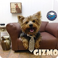 Adopt A Pet :: Gizmo - Arcadia, FL
