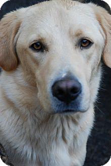 Golden Retriever/Labrador Retriever Mix Dog for adoption in Danbury, Connecticut - Dell