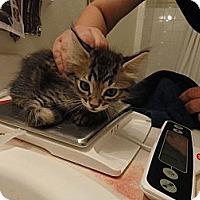 Adopt A Pet :: Fuzzy - Phoenix, AZ