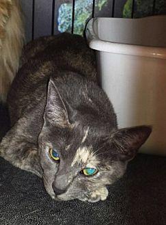 Domestic Shorthair Cat for adoption in Chino, California - Natasha