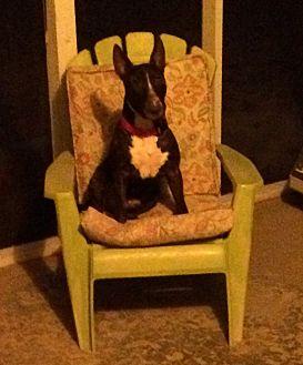 Bull Terrier Dog for adoption in Columbia, South Carolina - Baloo