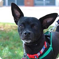 Adopt A Pet :: Bat Dog - Wylie, TX
