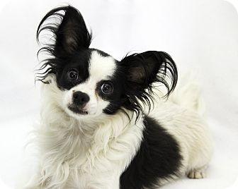 Papillon Dog for adoption in Cumberland, Maryland - Riser
