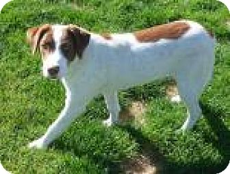 Brittany Mix Dog for adoption in Reno, Nevada - Stevie