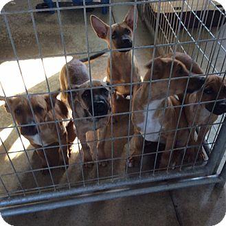 Belgian Malinois Mix Dog for adoption in Mechanicsburg, Ohio - Marvel