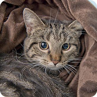 Domestic Shorthair Cat for adoption in Wilmington, Delaware - Wilson