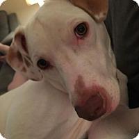 American Pit Bull Terrier/Vizsla Mix Dog for adoption in Allentown, Pennsylvania - Tony