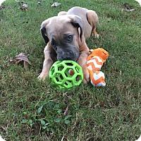 Cane Corso Puppy for adoption in Virginia Beach, Virginia - Quinn**Med Hold**