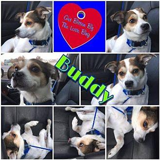 Shiba Inu/Chihuahua Mix Dog for adoption in Louisiana, Missouri - Buddy
