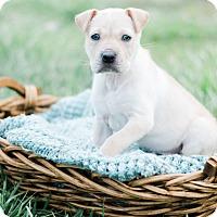 Adopt A Pet :: Tilly $250 - Seneca, SC