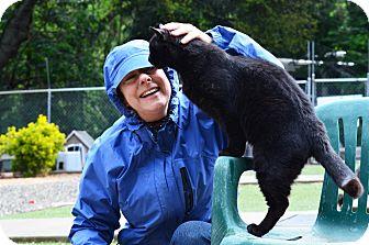 Domestic Shorthair Cat for adoption in El Dorado Hills, California - Bojangles