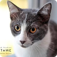 Adopt A Pet :: Mr. Whiskers - Edwardsville, IL