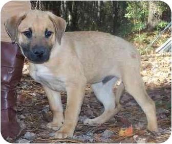 Labrador Retriever Mix Puppy for adoption in Little River, South Carolina - Boy pup