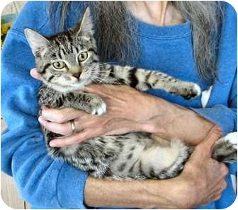 Domestic Shorthair Cat for adoption in Fairbury, Nebraska - Hazar