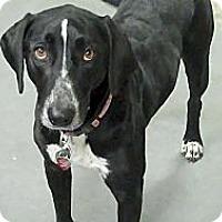 Adopt A Pet :: Roxy - spring valley, CA