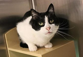 Domestic Shorthair Cat for adoption in Los Angeles, California - Buckaroo Banzai