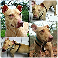 Adopt A Pet :: Dandy - Forked River, NJ
