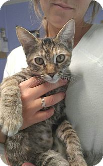 Domestic Shorthair Kitten for adoption in Cleveland, Tennessee - CARRIE