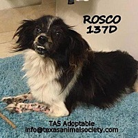 Papillon/Terrier (Unknown Type, Small) Mix Dog for adoption in Spring, Texas - Rosco