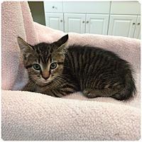 Adopt A Pet :: MINI MUFF aka Scooter - Hamilton, NJ