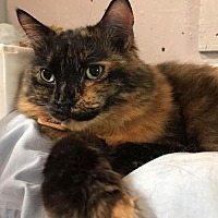Domestic Longhair Cat for adoption in Montreal, Quebec - Tresor-Island