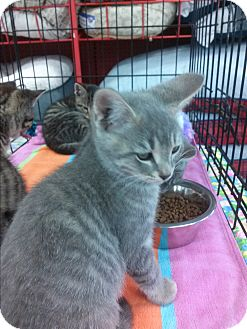 Domestic Shorthair Kitten for adoption in Alamo, California - Silvers
