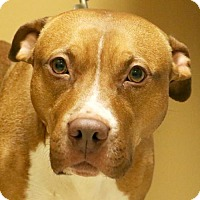 Adopt A Pet :: Amber - Reduced Fee! - Jefferson, WI