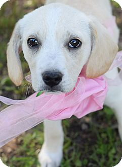 Hound (Unknown Type)/Labrador Retriever Mix Puppy for adoption in Denver, Colorado - Truly