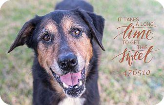 German Shepherd Dog/Collie Mix Dog for adoption in Houston, Texas - Charlotte