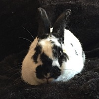 Adopt A Pet :: Bedelia - Watauga, TX