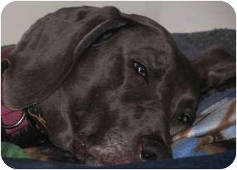 Weimaraner Dog for adoption in Attica, New York - Maci
