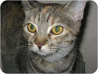 Domestic Shorthair Cat for adoption in Phoenix, Arizona - Honey
