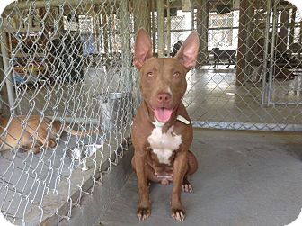 Pit Bull Terrier/Pharaoh Hound Mix Dog for adoption in Livingston Parish, Louisiana - Egypt