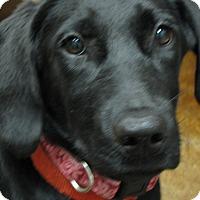 Adopt A Pet :: Liv - Groton, MA