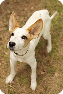 Jack Russell Terrier/Cattle Dog Mix Puppy for adoption in Plainfield, Connecticut - Dexter Two