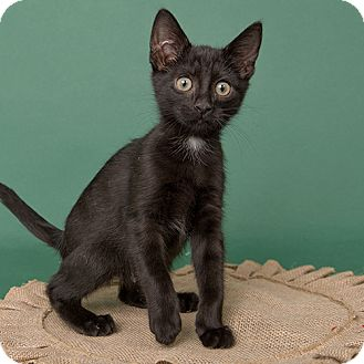 Domestic Shorthair Kitten for adoption in Wilmington, Delaware - Lucifer